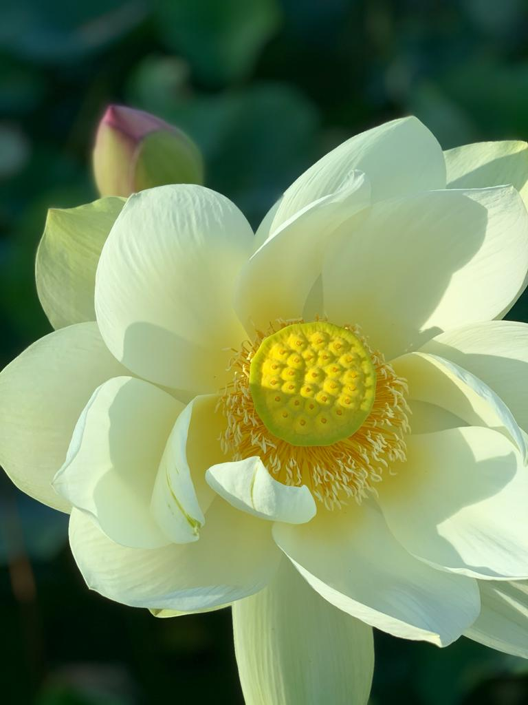 Lotus ferne